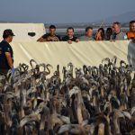 En el anillamiento de pollos de Fuente de Piedra participaron más de 500 personas
