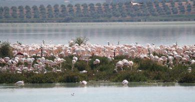 La Reserva Natural Laguna de Fuente de Piedra aumenta su número de flamencos