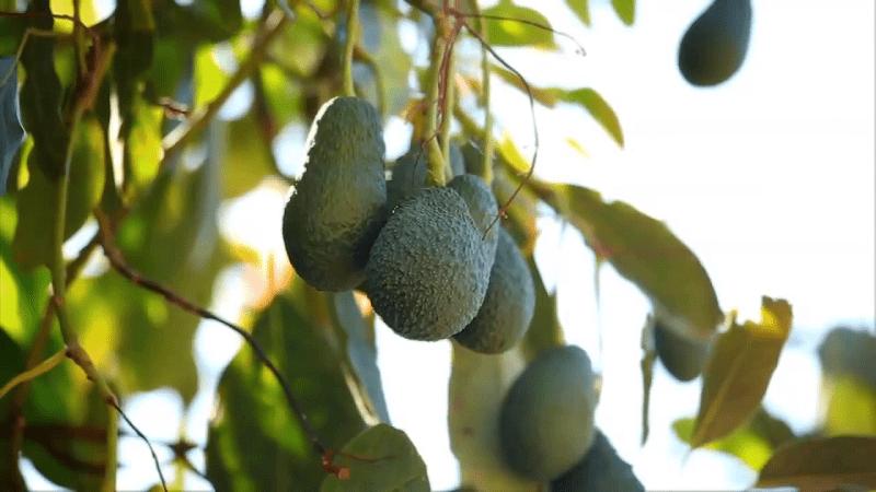 aguacates, frutas y verduras de la axarquía